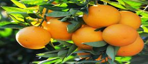 portakal-yetistiriciligi